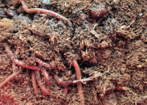 Worms from Uncle Jim's Worm Farm